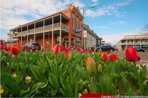 A picture of the Oxford Square framed by tulips in the foreground
