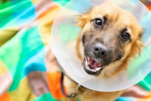 picture of dog with a post-surgery collar
